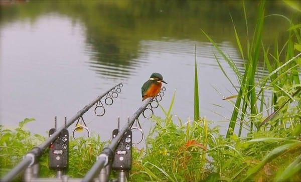 kingfishers-at-South-Farm