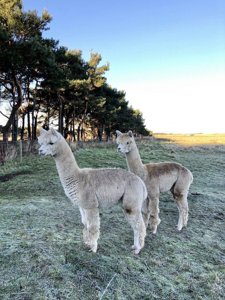 Two friendly Alpaca's in the morning sun