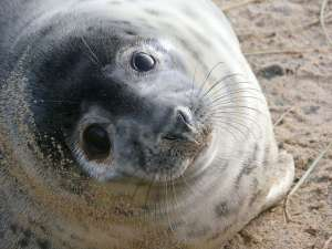Grey seal pup with seal watching in Norfolk